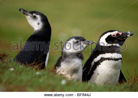 Magellanic penguin with chicks, Spheniscus magellanicus, Falkland Islands - Stock Photo