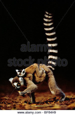 Ring-tailed lemur with young, Lemur catta, Berenty Reserve, Madagascar - Stock Photo