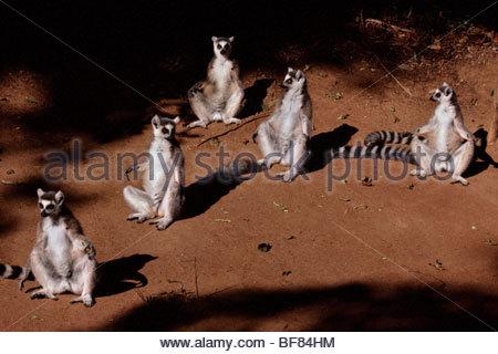 Ring-tailed lemurs sunning, Lemur catta, Berenty Reserve, Madagascar - Stock Photo
