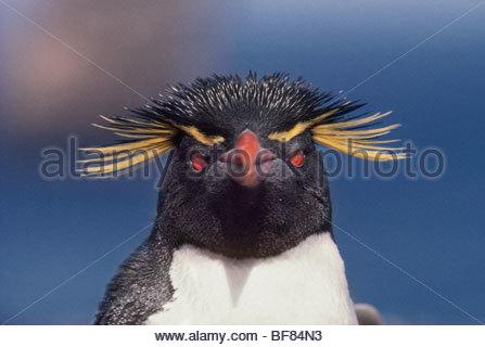 Rockhopper penguin, Eudyptes chrysocome, Falkland Islands - Stock Photo