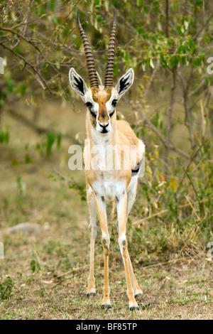 Thomson's Gazelle - Masai Mara National Reserve, Kenya - Stock Photo