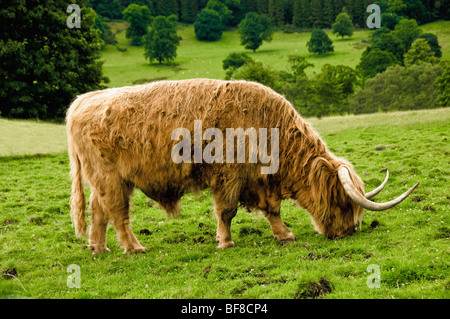 Side view of highland cow grazing. - Stock Photo