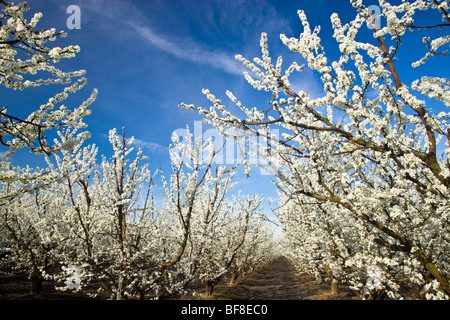 Pluot orchard flowering. - Stock Photo