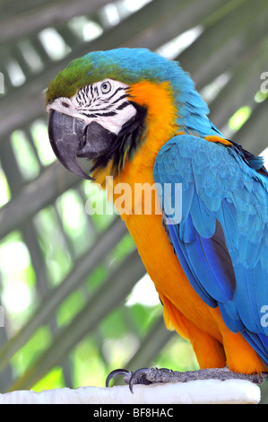 Blue and gold macaw in close-up view - Stock Photo