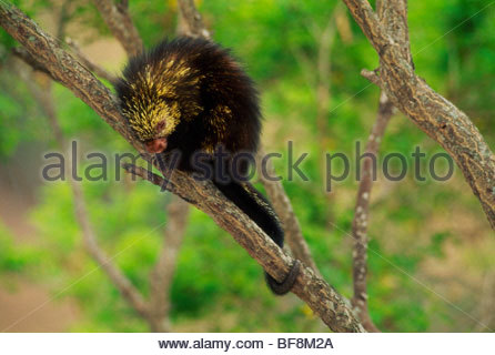 Mexican hairy dwarf porcupine sleeping in tree, Sphiggurus mexicanus, Monteverde Cloud, Forest Preserve, Costa Rica - Stock Photo