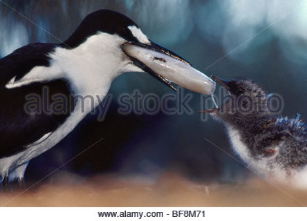 Sooty tern feeding squid to chick, Onychoprion fuscata, Hawaiian Leeward Islands - Stock Photo