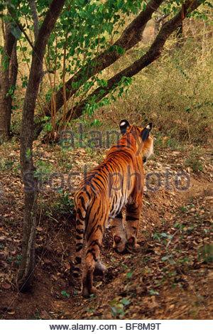 Bengal tiger stalking, Panthera tigris tigris, Western Ghats, India - Stock Photo