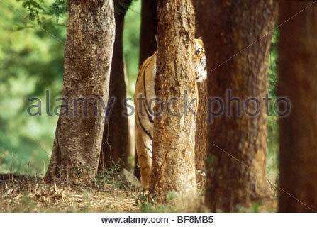 Bengal tiger hiding in trees, Panthera tigris tigris, Western Ghats, India - Stock Photo