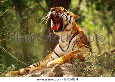 Bengal tiger yawning, Panthera tigris tigris, Western Ghats, India - Stock Photo
