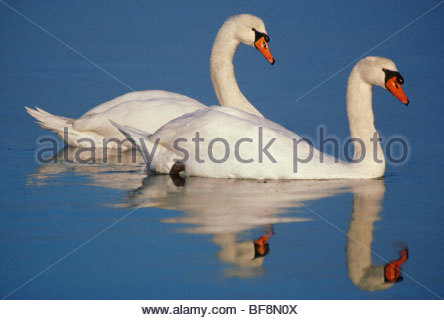 Mute swans, Cygnus olor, Netherlands - Stock Photo