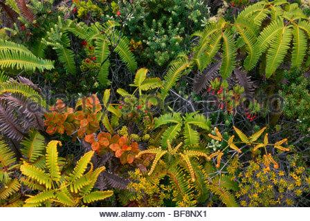 Pioneering vegetation on lava flow, Hawaii Volcanoes National Park, Hawaii - Stock Photo