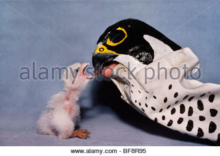 Peregrine falcon chick being hand fed by adult puppet, Falco peregrinus, California - Stock Photo
