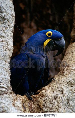 Hyacinth macaw at nest, Anodorhynchus hyacinthinus, Pantanal, Brazil - Stock Photo