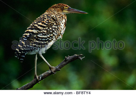 Juvenile rufescent tiger heron, Tigrisoma lineatum, Pantanal, Brazil - Stock Photo