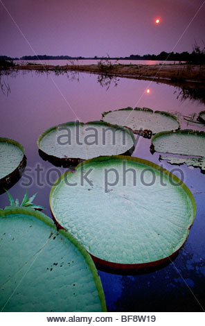Giant water lilies, Victoria regia, Paraguay River, Pantanal, Brazil - Stock Photo