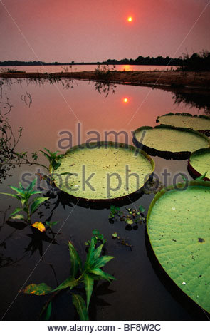 Giant water lilies at sunset, Victoria regia, Paraguay River, Pantanal, Brazil - Stock Photo
