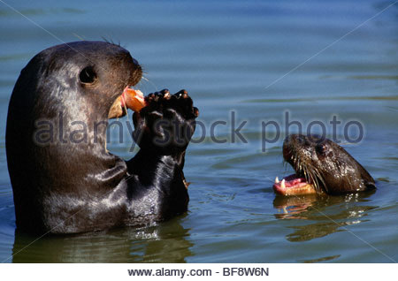 Giant river otter with young begging for food, Pteronura brasiliensis, Pantanal, Brazil - Stock Photo