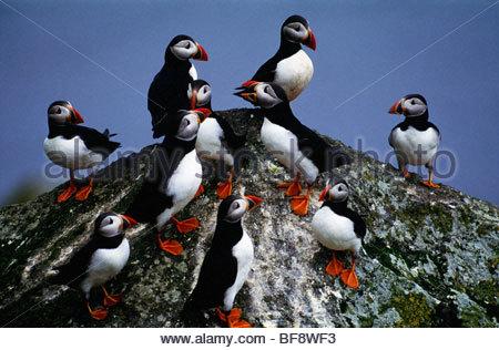 Atlantic puffin flock, Fratercula arctica, Scotland - Stock Photo