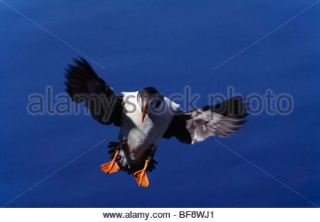 Atlantic puffin landing, Fratercula arctica, Outer Hebrides, Scotland - Stock Photo