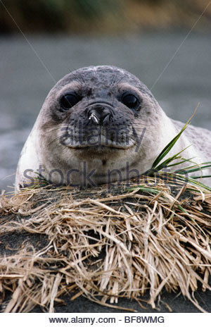 Southern elephant seal pup, Mirounga leonina, South Georgia Island - Stock Photo