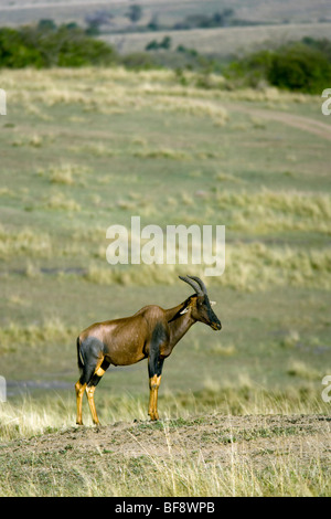 Topi - Masai Mara National Reserve, Kenya - Stock Photo