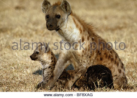 Spotted hyena mother with pups, Crocuta crocuta, Masai Mara National Reserve, Kenya - Stock Photo