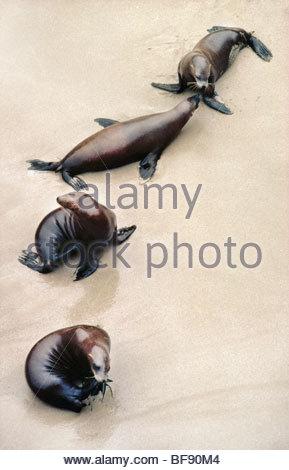 California sea lions, Zalophus californianus, Farallon Islands, California - Stock Photo