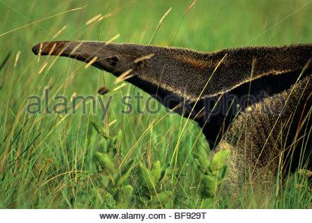 Giant anteater in tall grass, Myrmecophaga tridactyla, Emas National Park, Brazil - Stock Photo