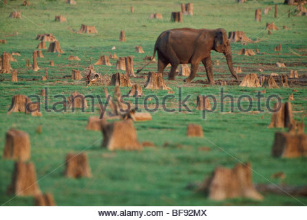Asiatic elephant foraging on lakeshore amid tree stumps, Elephas maximus, Nagarahole National Park, Western Ghats, - Stock Photo