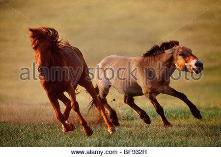 Takhi stallion chasing domestic mare from group, Equus caballus przewalskii, Hustain Nuruu National Park, Mongolia - Stock Photo