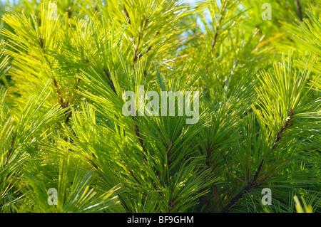 Pine close-up. - Stock Photo
