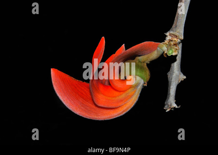 Flame of the Forest Palash parrot tree - Stock Photo