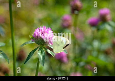 Small white butterfly on clover - Stock Photo