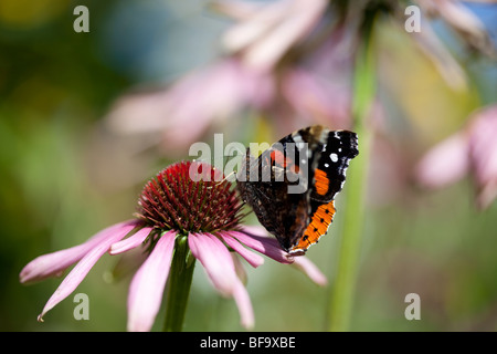 Red Admiral butterfly on echinacea purpurea - Stock Photo