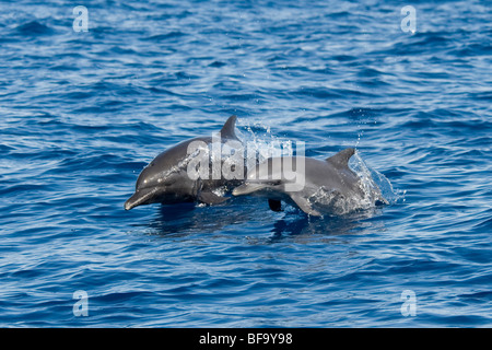 Inshore Pantropical Spotted Dolphin, Stenella attenuata graffmani, mother & calf porpoising, Costa Rica, Pacific - Stock Photo