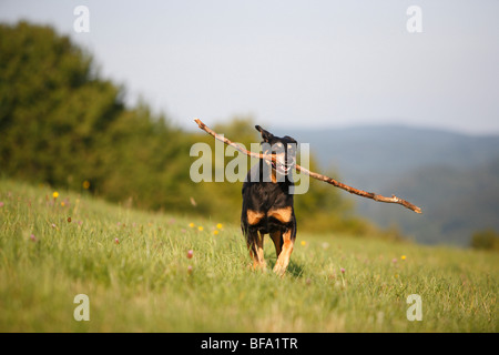 mixed breed dog (Canis lupus f. familiaris), 10 years old black and red Dobermann mix with a stick in the mouth, - Stock Photo