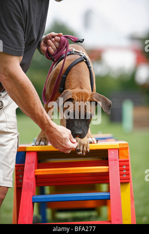 Staffordshire Bull Terrier (Canis lupus f. familiaris), puppie is attracted to walk over a barrier in a dog school, - Stock Photo