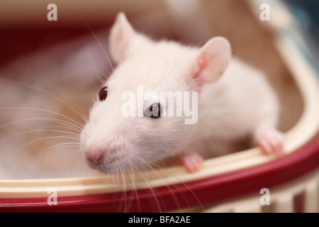 Fancy Rat, Bronw rat (Rattus norvegicus domesticus, Rattus norvegicus domestica), looking out of a transport box - Stock Photo