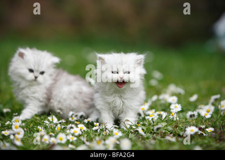 two kittens sitting in a daisied meadow - Stock Photo