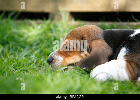 Basset Hound (Canis lupus f. familiaris), puppy lying in the grass sleeping , Germany - Stock Photo