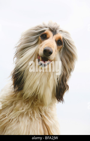 Afghanistan Hound, Afghan Hound (Canis lupus f. familiaris), portrait - Stock Photo