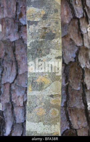 American Beech (Fagus grandifolia), in front of pine tree, North Carolina, USA - Stock Photo