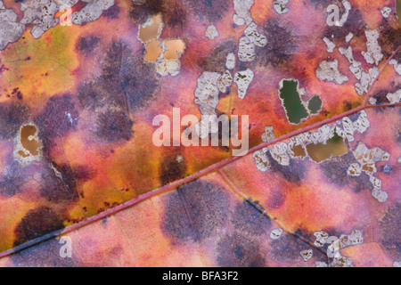 Eastern Black oak (Quercus velutina), leaf, Lillington, North Carolina, USA - Stock Photo