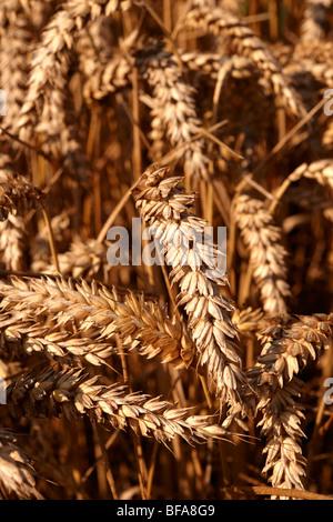 Wheat field ready to harvest - Stock Photo