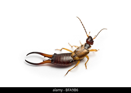A close-up of a common male earwig ( Forficula auricularia ), on a white background. - Stock Photo