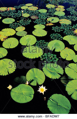 Water lilies, Okavango Delta, Botswana - Stock Photo