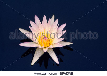 Water lily, Okavango Delta, Botswana - Stock Photo