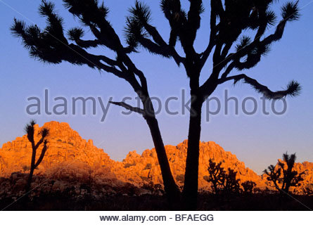 Joshua trees, Yucca brevifolia, Anza Borrego State Park, California - Stock Photo