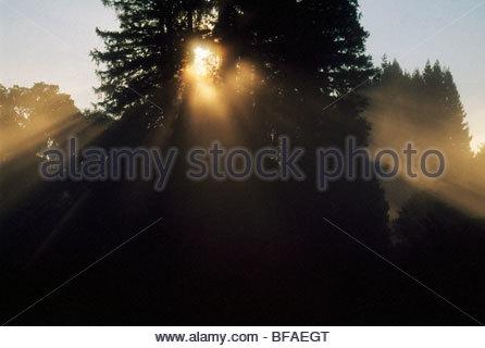 Sun and coast redwoods, Sequoia sempervirens, Monterey Bay, California - Stock Photo