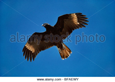 Striated cara cara in flight, Phalcoboenus australis, Falkland Islands - Stock Photo